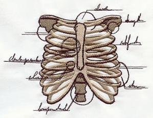 Anatomical Ribcage_image